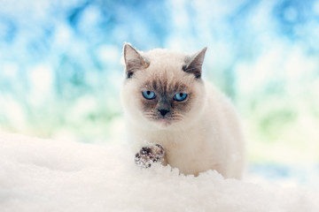 Siamese cat walking in the snow