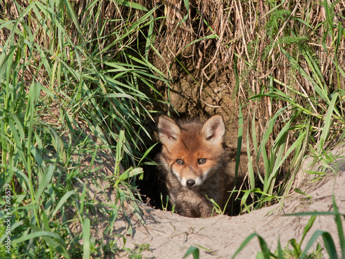 Young fox comes out of the hole. Red fox (Vulpes vulpes).