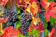 Blaue Weintrauben, Ende Oktober