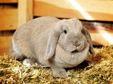 Lop-earred Rabbit