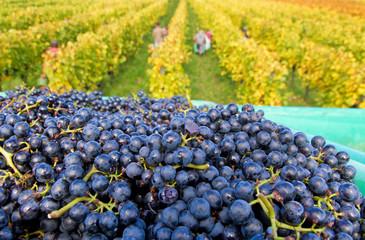 Weinlese - Erntezeit