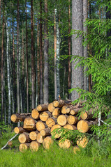 Harvested dry wood in a forest