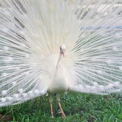 White peacock in the pairing season