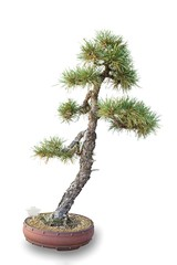 Bonsai tree - pine