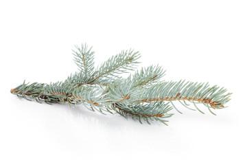 blue spruce twig