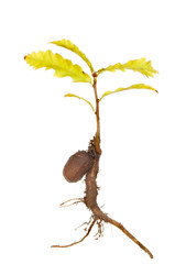 Sapling oak