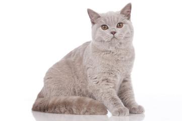 Britisch Kurzhaar Katze sitzend isoliert