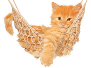 Cute red haired kitten in hammock