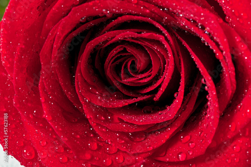 Red natural rose background © TADDEUS