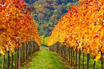 Colorful wine grapes