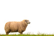 Mature sheep isolated on white