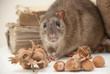 Ratto con nocciole