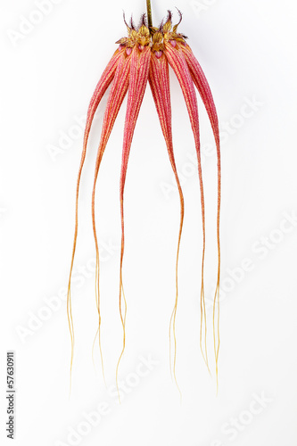 Dramatic Bulbophyllum orchid on white background