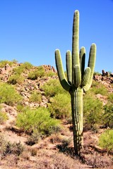 Giant Saguaro cactus in the Arizona dessert