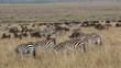 Blue wildebeest and plains zebras, Masai Mara