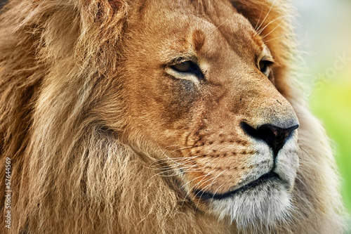 Lion portrait with rich mane on savanna, safari
