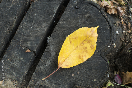 Single Autumn leaf on a tree trunk