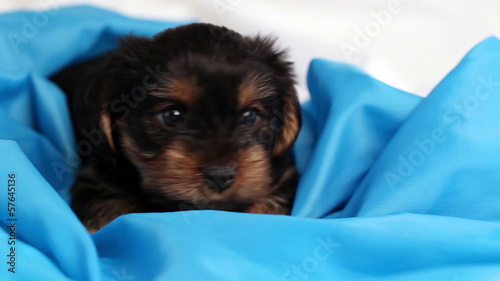 puppy Yorkshire terrier close-up in blue cloth
