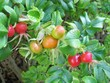 Rose hip seed baals of the dogrose