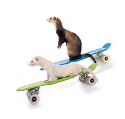 Lustige Frettchen auf Skateboards