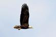 Adult Bald Eagle (haliaeetus leucocephalus)
