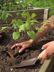 plantation de haricots dans un carré potager