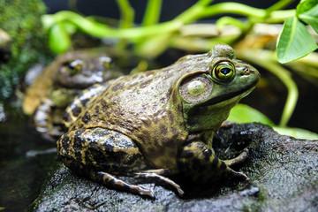 American Bullfrog Lithobates catesbeiana