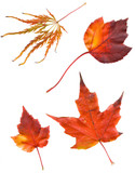 collection beautiful colorful autumn leaves isolated on white ba