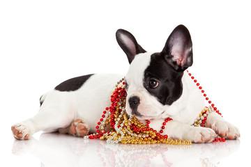 Adorable  French Bulldog  wearing  jewelery on white background.