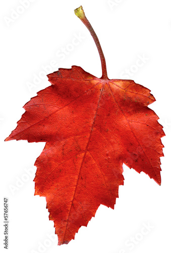 Colorful autumn leave isolated on white.