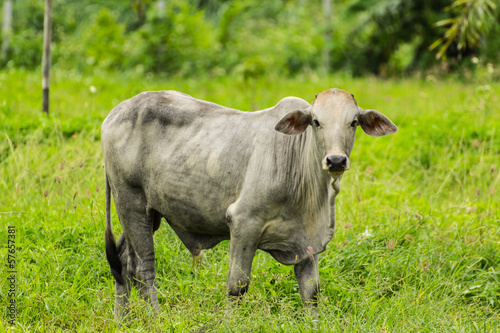 White cow stands in pasture