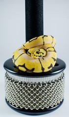 snake on cabasa