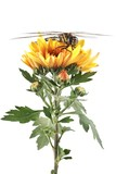 Dragonfly, Migrant Hawker (Aeshna mixta) and Chrysanthemum poster