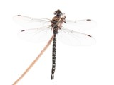 Dragonfly, Migrant Hawker (Aeshna mixta), on a white background poster