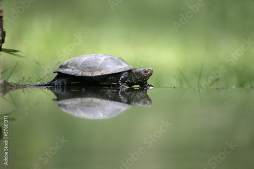 European pond turtle, Emys orbicularis,