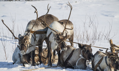 harness of reindeers