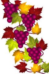 Vigne - Grappes de Raisin noir