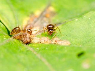 Brown Ants Feeding On Aphids Honeydew