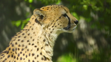 Young cheetah chirping in his aviary, at the Zoo.