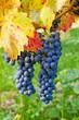 Blaue Weintrauben im Herbst