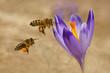 Obrazy na płótnie, fototapety, zdjęcia, fotoobrazy drukowane : Honeybees (Apis mellifera), bees flying over the crocuses