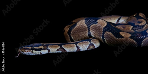 Python regius with tongue sticking out, on a black background