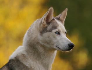 Portrait de chien de traîneau