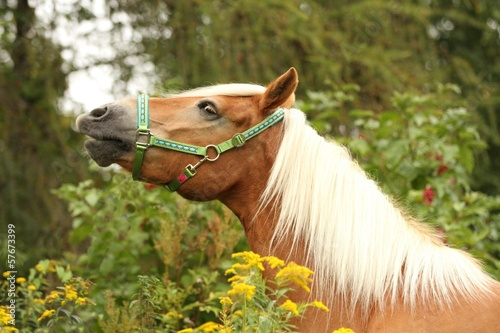 kecker haflinger in blumenwiese