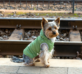Yorkshire terrier sitting  near the railway.