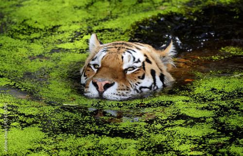 Poster Tijger Tiger