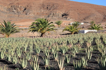 Aloe Vera plantation; Fuerteventura, Canary Islands.