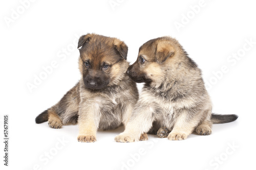 two sheepdog`s puppies isolated over white background