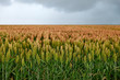 field of sorghum - 57679347