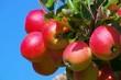 Apfel am Baum - apple on tree 153